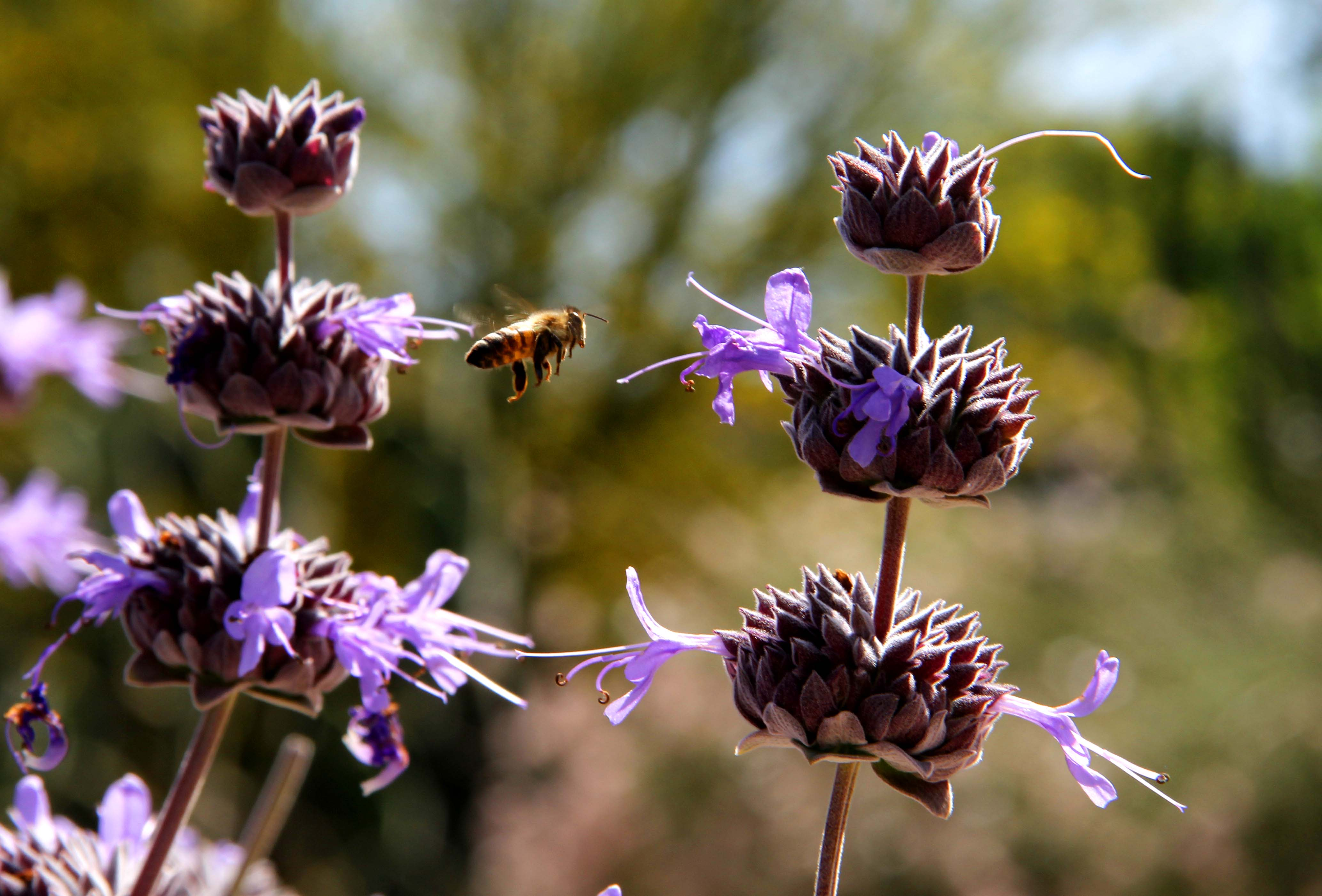 Bees & Flowers at Pierce College, May 2011 | John's Room